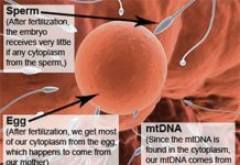 sperm and egg diagram