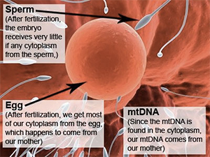 sperm and egg diagram