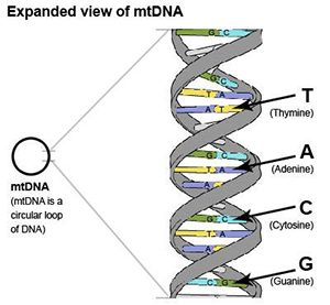 expanded diagram of mtDNA
